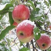 Яблоня Благодать
