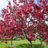 Яблоня декоративная Скарлетт