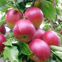 Яблоня Ковровое