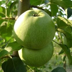 Яблоня Кутузовец