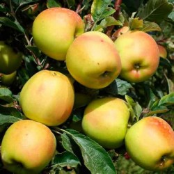 Яблоня Скифское золото