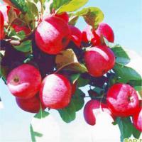 Яблоня Сурхурай