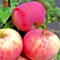 Яблоня Орлинка