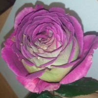 Роза чайно-гибридная Загадка