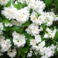 Жасмин садовый (чубушник) Монблан