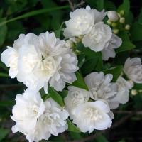 Жасмин садовый (чубушник) Снежная буря