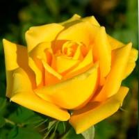 Роза чайно-гибридная Золотая рыбка